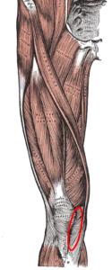 内側膝蓋支帯
