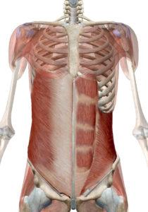 体幹腹部筋群