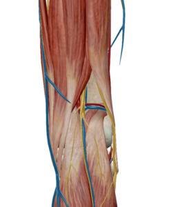 膝窩部中央の硬い腱のような線維