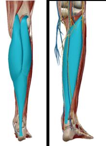 腓腹筋 ヒラメ筋 図1