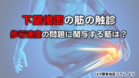 下腿後面の筋の触診〜歩行速度の問題に関与する筋は?